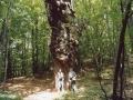 2006 - Posina (VI) Il castagno secolare