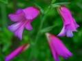 Gladiolus italicus.jpg