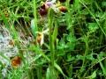 Ophrys argolica ssp. biscutella