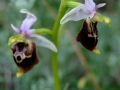 Ophrys holosericea subsp. gracilis