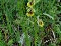 Ophrys lacaitae