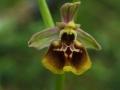 Ophrys lacaitae x gracilis
