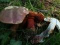 Boletus rubrosanguineus
