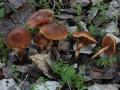 Cortinarius saniosus