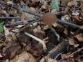 Psathyrella murcida