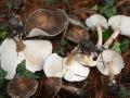 Melanoleuca albifolia