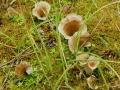 Arrhenia spathulata