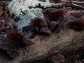 Auricularia auricola-judae